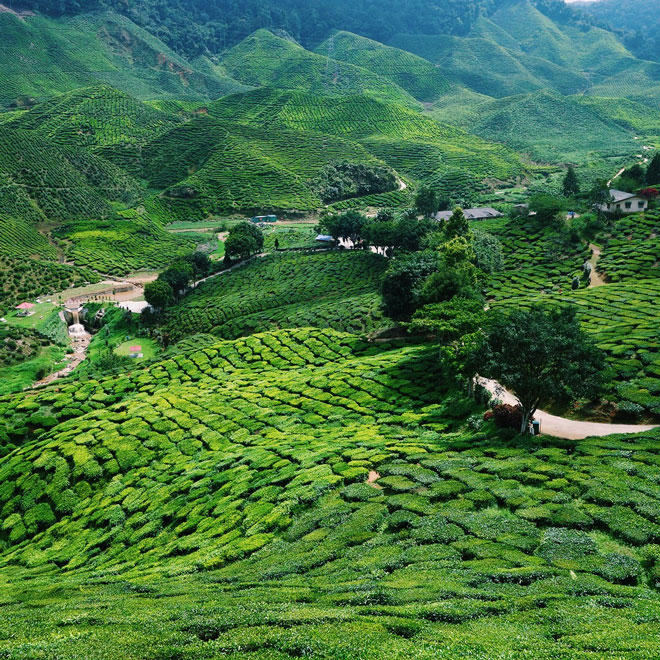 Boh Sungai Palas Tea Estate in Cameron Highlands Malaysia
